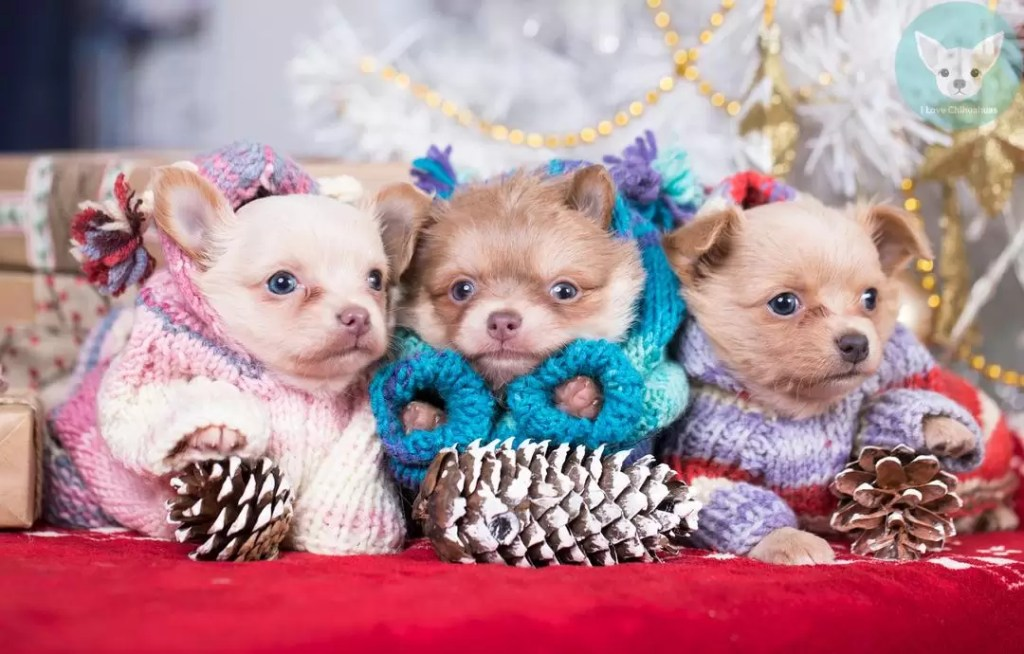 cute little chihuahuas dressed