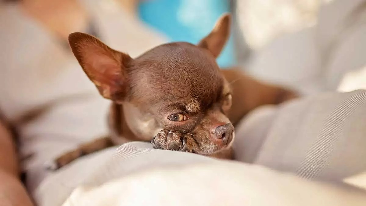 Chihuahua Health Problems to Be Aware Of