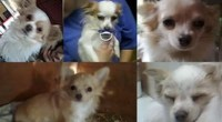 Five Chihuahua dogs stolen from Greenacres Animal Park