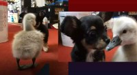 A chihuahua puppy and rescued cygnet become friends