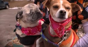 Blind-Pug-And-His-Seeing-Eye-Chihuahua-Looking-For-A-Home
