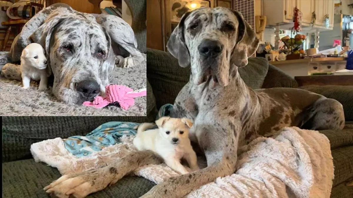 LITTLE AND LARGE Adorable snaps show off unlikely friendship between puppy chihuahua and blind Great Dane