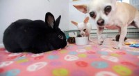 Office bunny with Chihuahua companion