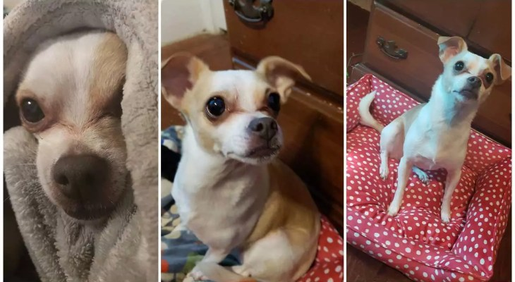 Prize offered for missing Chihuahua close Stewardson
