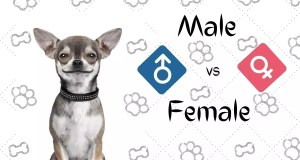 Male vs Female Chihuahua: How To Choose?