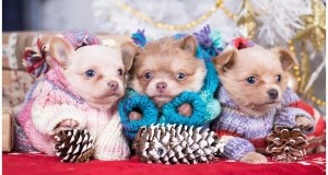 18-Utterly-Amazing-Chihuahua-Mixes-You-Need-In-Your-Life