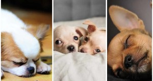 3 Reasons Why Your Chihuahua Sleeps So Much
