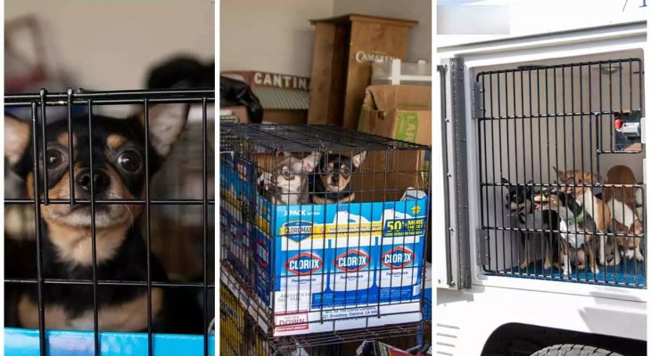 30-Chihuahuas-Found-in-Colorado-Springs-Carport-After-Proprietor-Gets-Removed