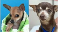 Bam-Bam The 4 Pounds Chihuahua Looking for Home!