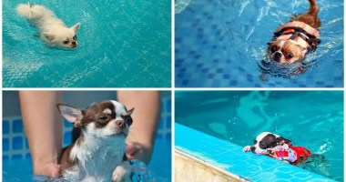 Can Chihuahuas Swim? – The Owner's Guide to Swimming with Chihuahuas