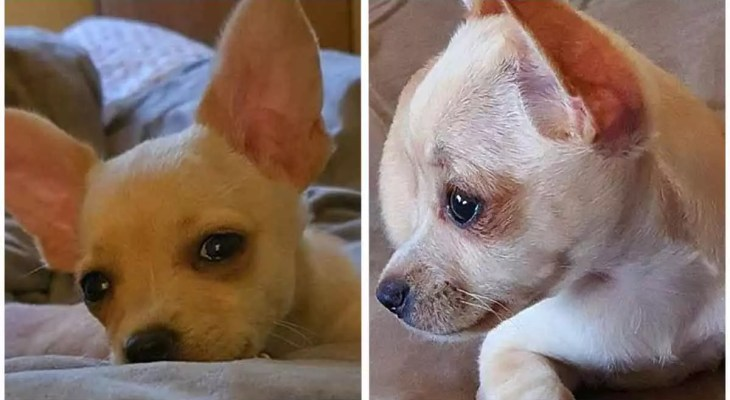 Chihuahua granted a last-minute reprieve after Jean-Claude Van Damme intervention