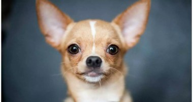 Chihuahua: the most stolen dog breed