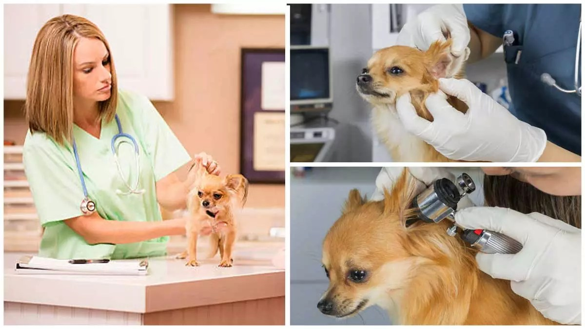 Deafness in Chihuahuas