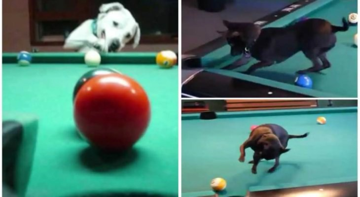 Dogs Who Play Pool- Watch, dogs put balls into side & corner pockets