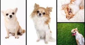 Fascinating Chihuahua Facts