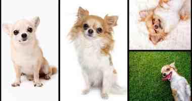 Fascinating Chihuahua Facts