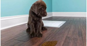 How to Stop Submissive or Excitement Peeing in Dogs