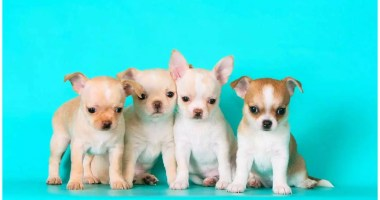 The 115 Most Popular Chihuahua Names