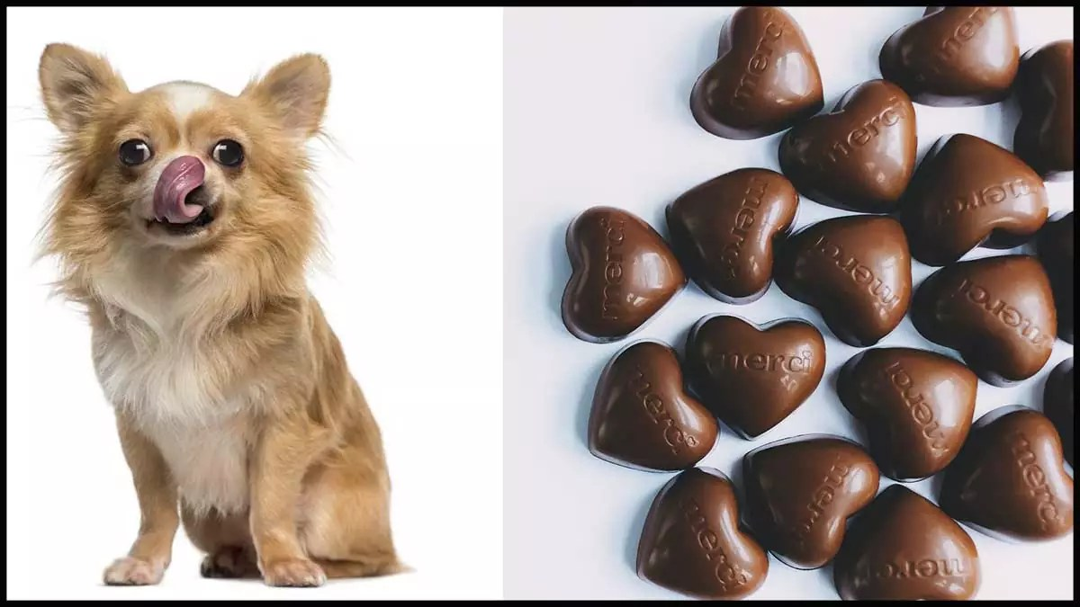 What to Do if Your Dog Eats Chocolate