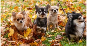 10 Chihuahua Walking Tips