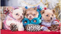 10 Tips On How To Keep A Chihuahua Warm