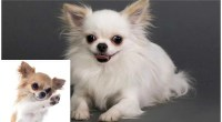 7 Chihuahua Pros And Cons: Should You Get A Chi?