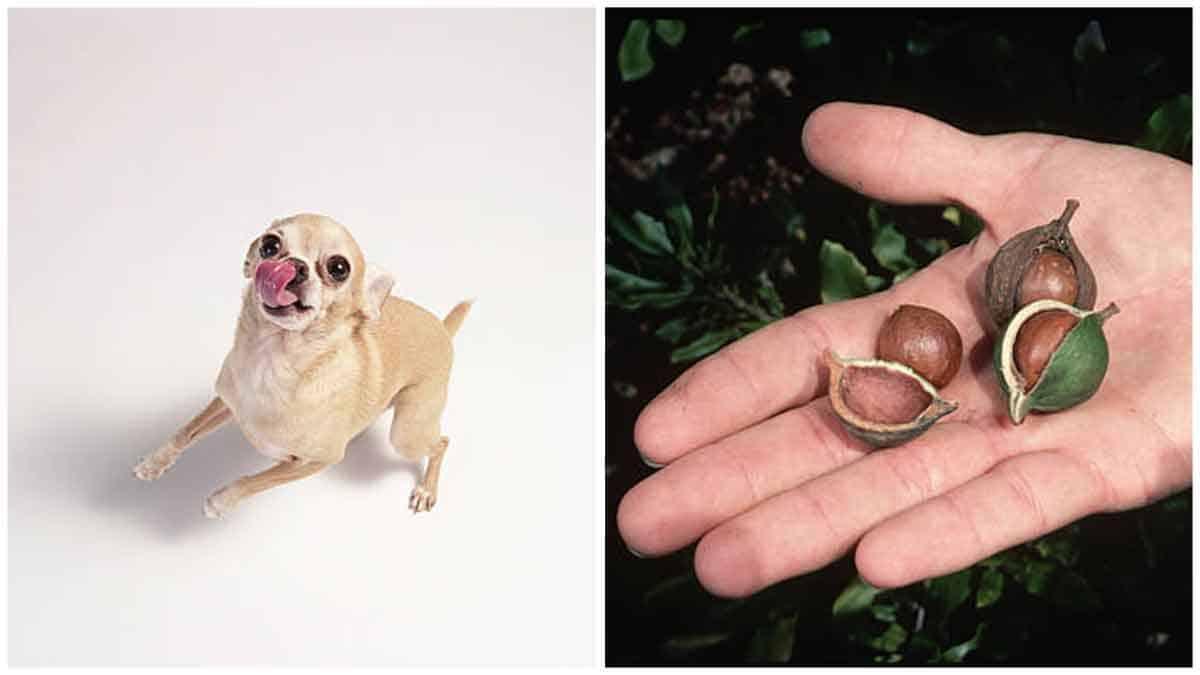Can Chihuahuas Eat Macadamia Nuts?