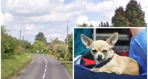 Chihuahua killed in hit-and-run
