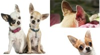 Cleaning Your Chihuahua's Ears