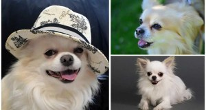Everything You Need to Know about Long Hair Chihuahuas