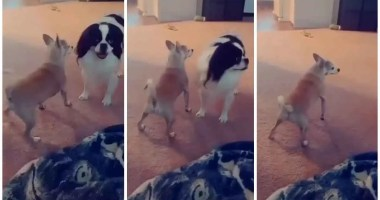 Shaking, Twerking, Trending: Little Chihuahua Shows Off Cool Dancing Moves