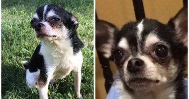 This tiny Chihuahua dog ATE his owner