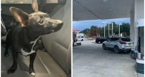 Video shows chihuahua drive across 4 lane road after putting the car in reverse