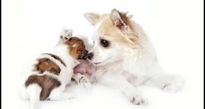 Birth and Breastfeeding for Chihuahuas