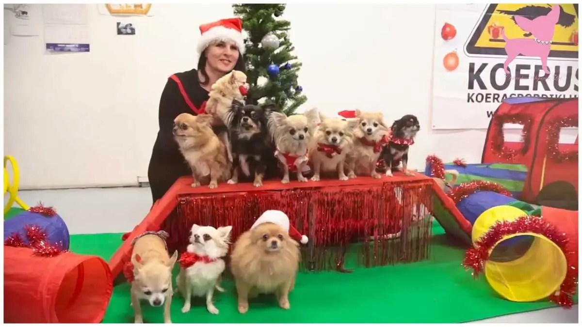 Cute chihuahua dog Christmas party