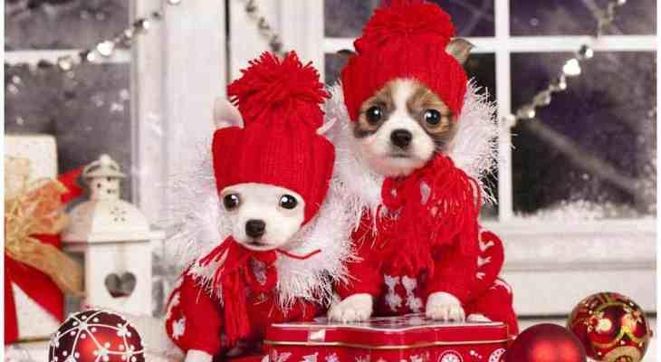 It's a Chihuahua Christmas