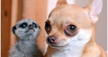 Meerkat abandoned at birth finds a new mother... a Chihuahua called Kimi who was having a phantom pregnancy