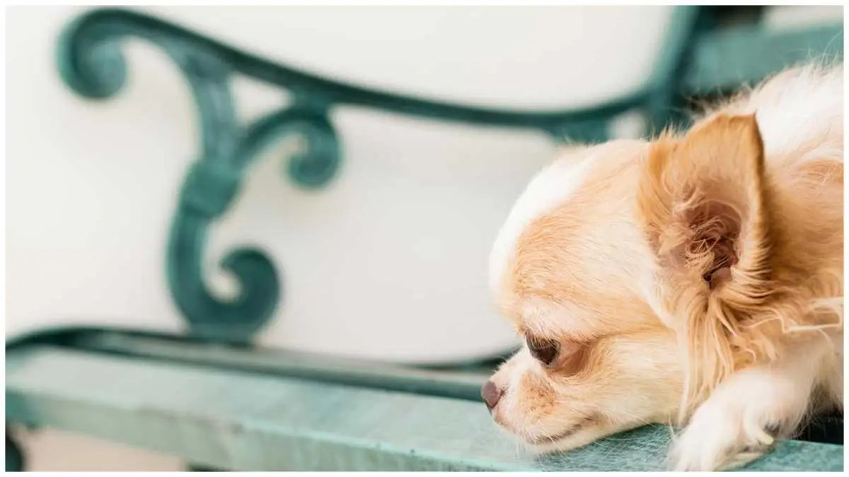 Separation Anxiety In Chihuahuas