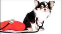 Should I Get My Chihuahua Health Insurance?
