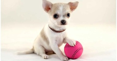 6 Tips for Optimum Chihuahua Playing And Training