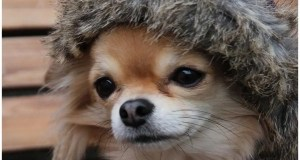 Cold weather safety for Chihuahua