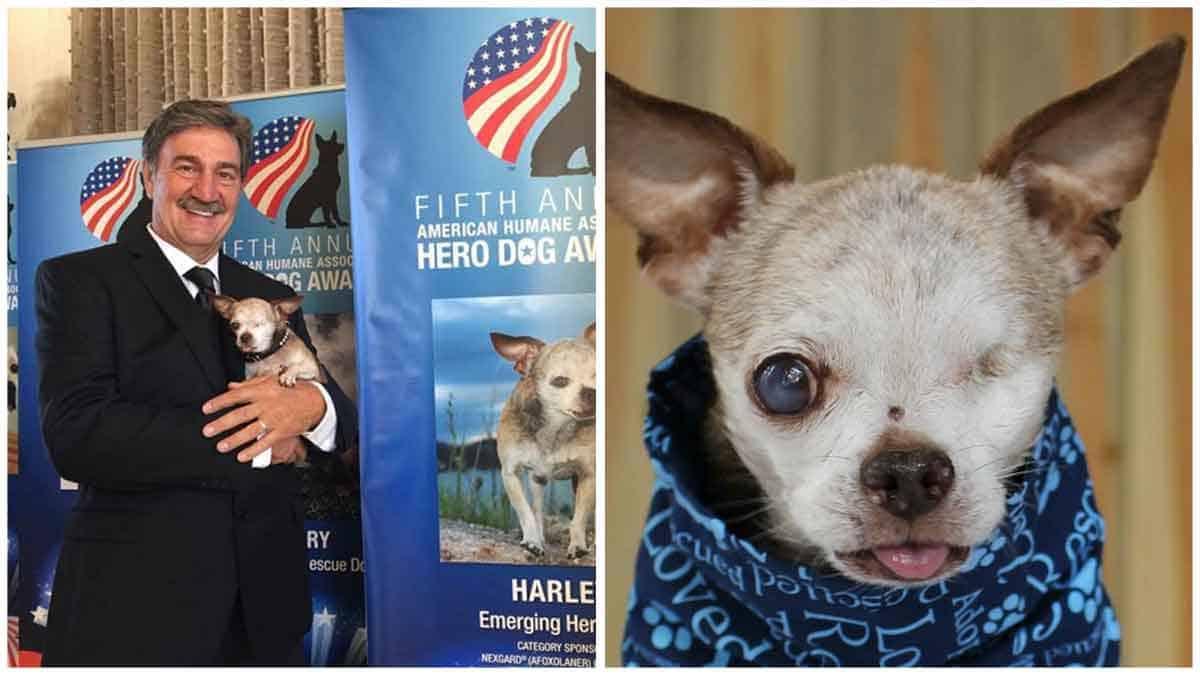 Harley The One-Eyed Chihuahua Named American Hero Dog before half a decade