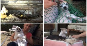 Injured Chihuahua Seeks Refuge Under Shipping Container