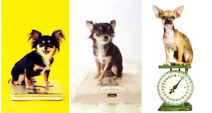 For more information, take a look at our article: How big does a Chihuahua get?
