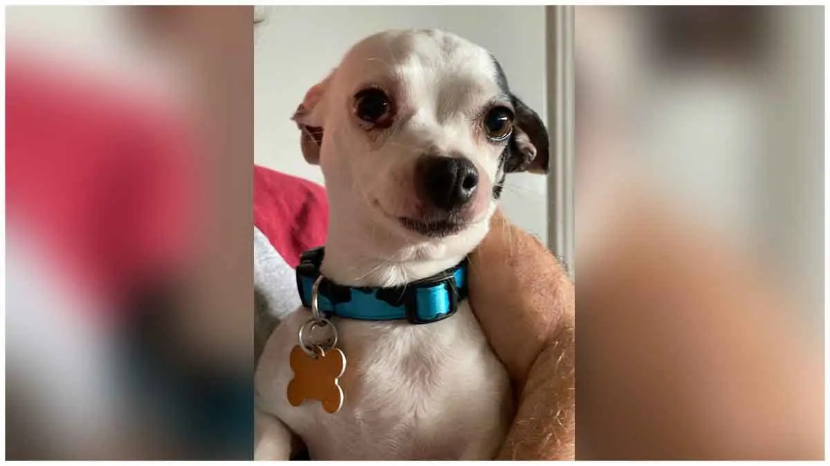 Lola the Chihuahua needs love and a pure heart