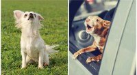 When dogs bark, are they using words to communicate?