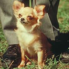 Breed Info Chihuahua