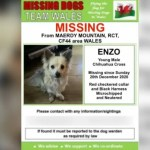 Rhondda chihuahua Enzo survives 11 freezing nights