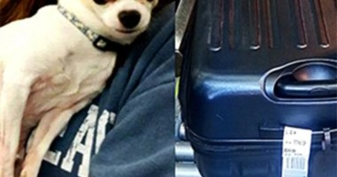 Sneaky Chihuahua