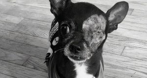 Morty the Chihuahua